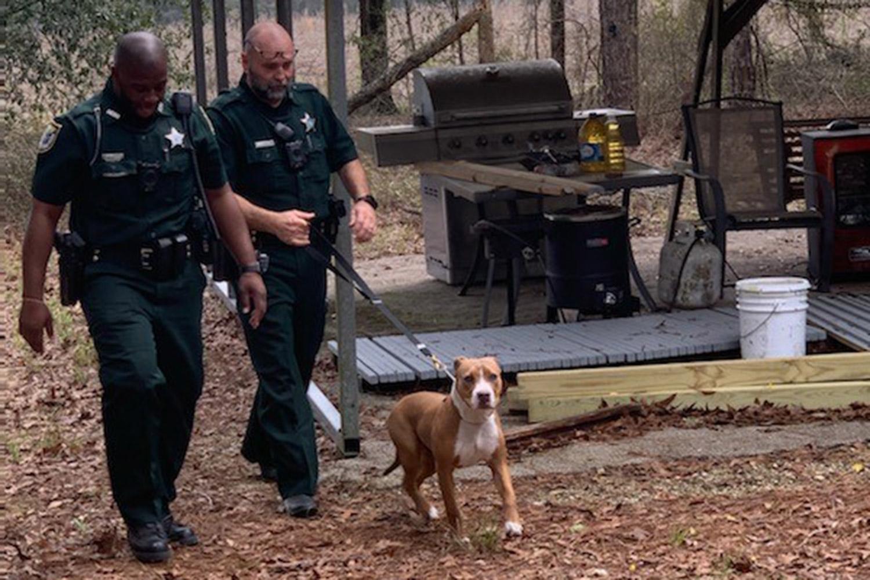 Un pitbull loial a aparat un baietel de 3 ani pana cand acesta a fost gasit de catre autoritati
